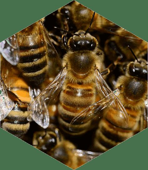 bijen zijn belangrijk