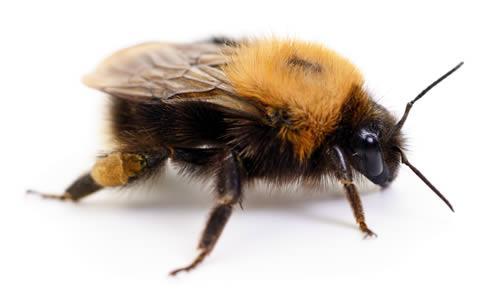 hommel, ook lid van de bijenfamilie
