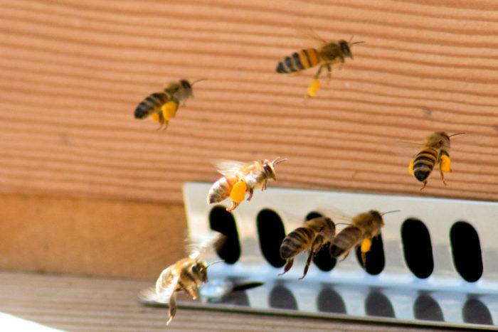 honingbij met pollen